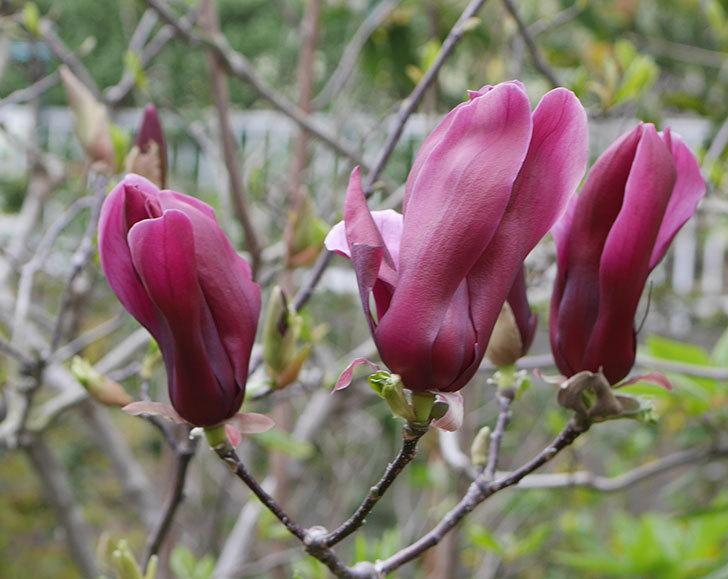 モクレン(木蓮)の花が次々咲きだした。2020年-1.jpg