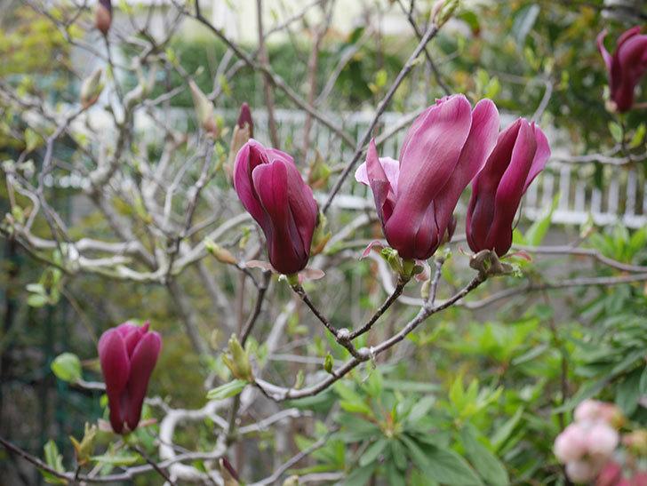 モクレン(木蓮)の花が次々咲きだした。2020年-2.jpg