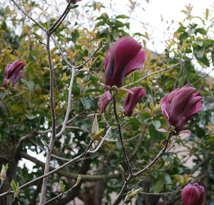 モクレン(木蓮)の花が次々咲きだした。2020年-4.jpg