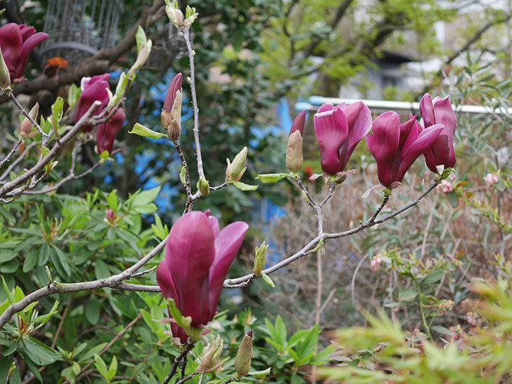 モクレン(木蓮)の花が次々咲きだした。2020年-5.jpg