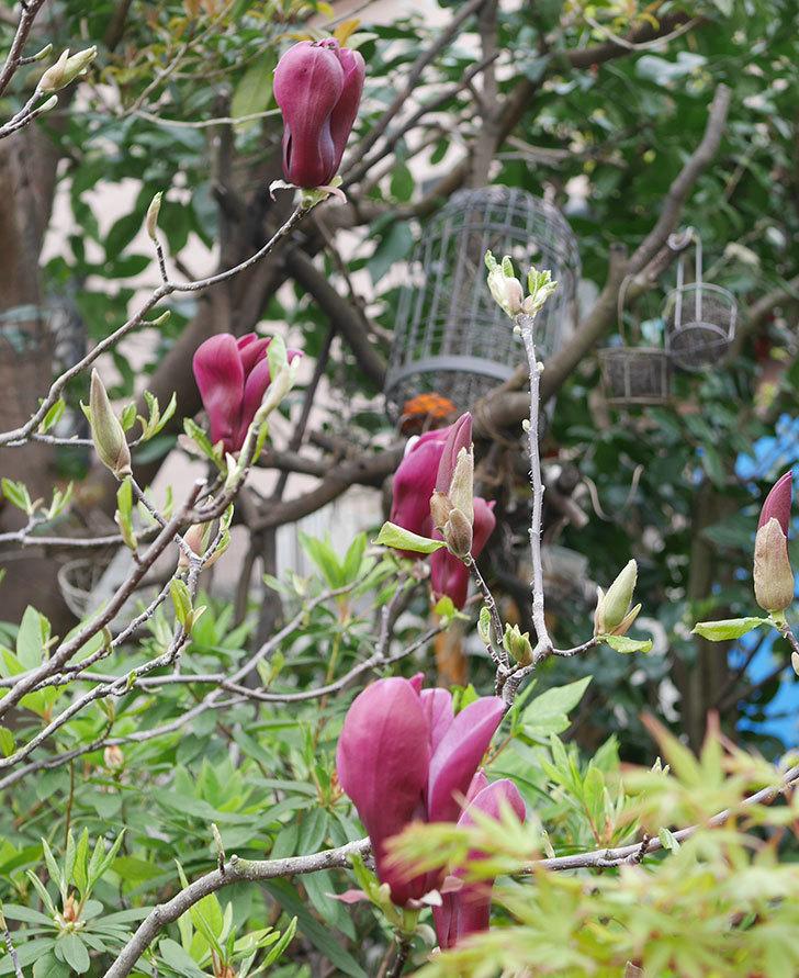 モクレン(木蓮)の花が次々咲きだした。2020年-6.jpg
