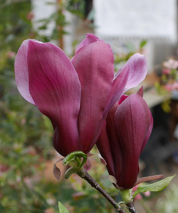 モクレン(木蓮)の花が次々咲きだした。2020年-7.jpg