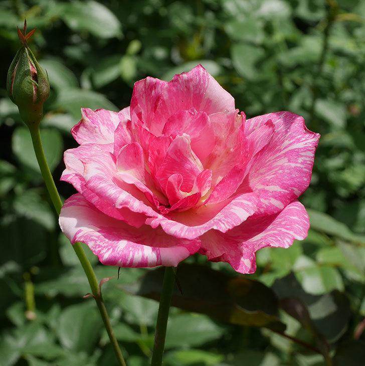 モダン・タイムズ(木立バラ)の2番花が咲いた。2018年-1.jpg