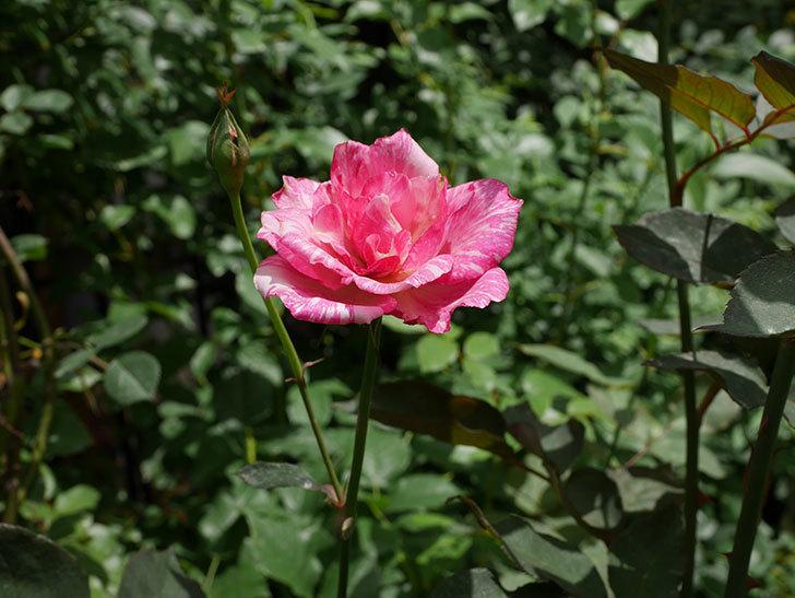 モダン・タイムズ(木立バラ)の2番花が咲いた。2018年-3.jpg