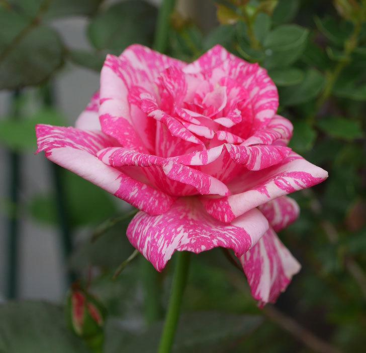 モダン・タイムズ(木立バラ)の2番花が咲いた。2019年-1.jpg