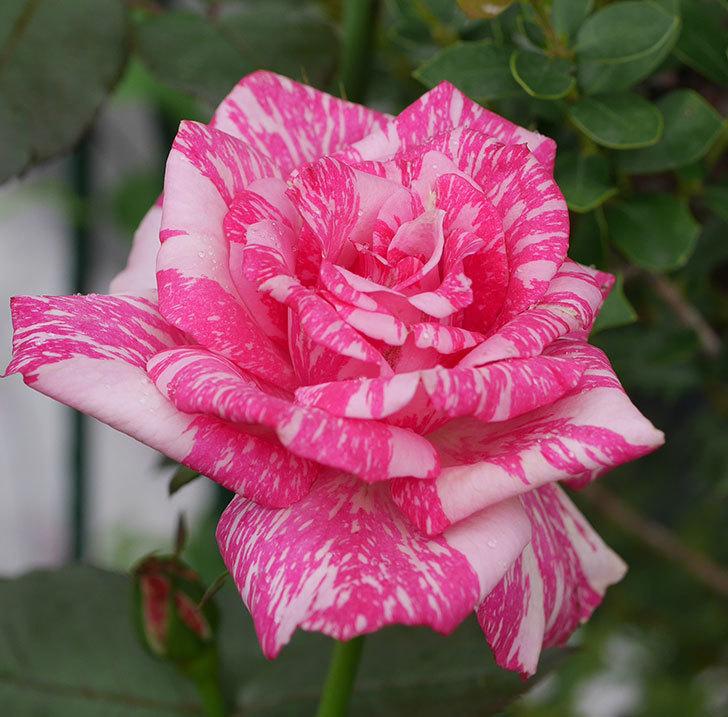 モダン・タイムズ(木立バラ)の2番花が咲いた。2019年-2.jpg