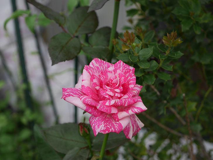 モダン・タイムズ(木立バラ)の2番花が咲いた。2019年-3.jpg