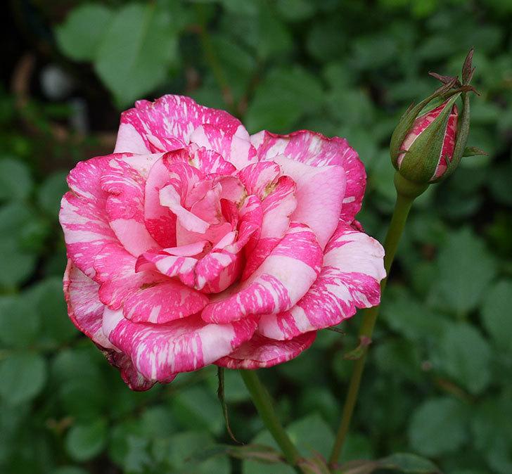 モダン・タイムズ(木立バラ)の2番花が綺麗に咲いた。2017年-1.jpg