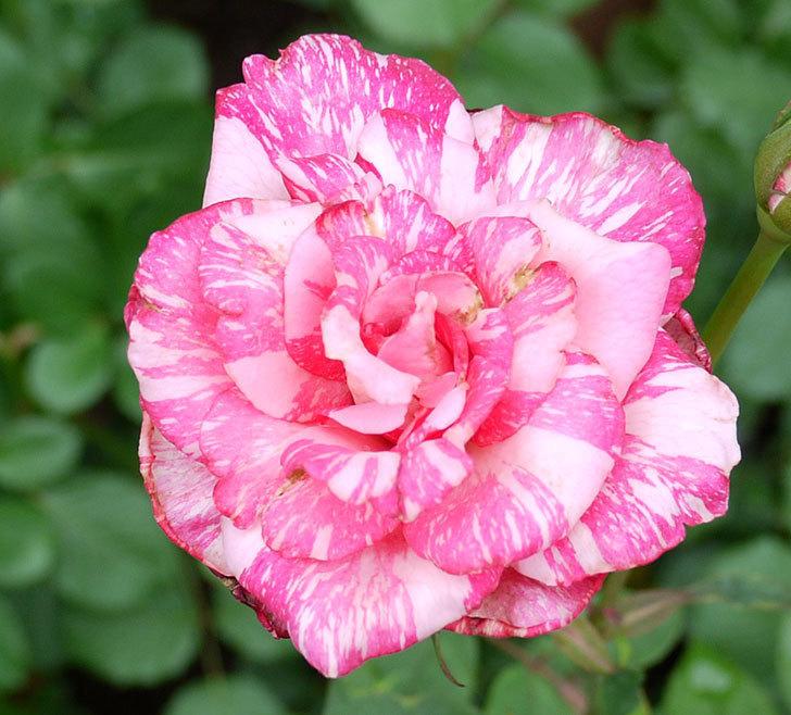 モダン・タイムズ(木立バラ)の2番花が綺麗に咲いた。2017年-2.jpg