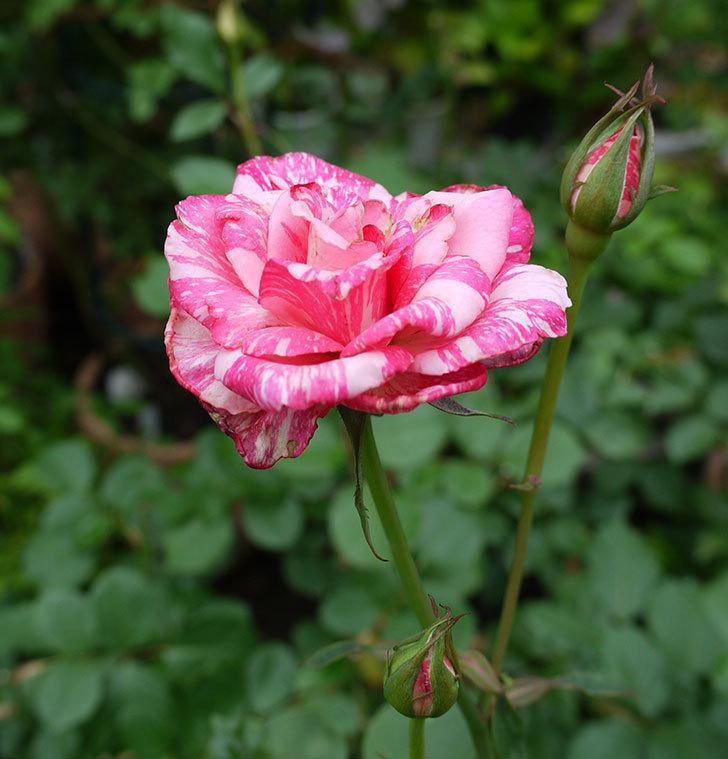モダン・タイムズ(木立バラ)の2番花が綺麗に咲いた。2017年-3.jpg