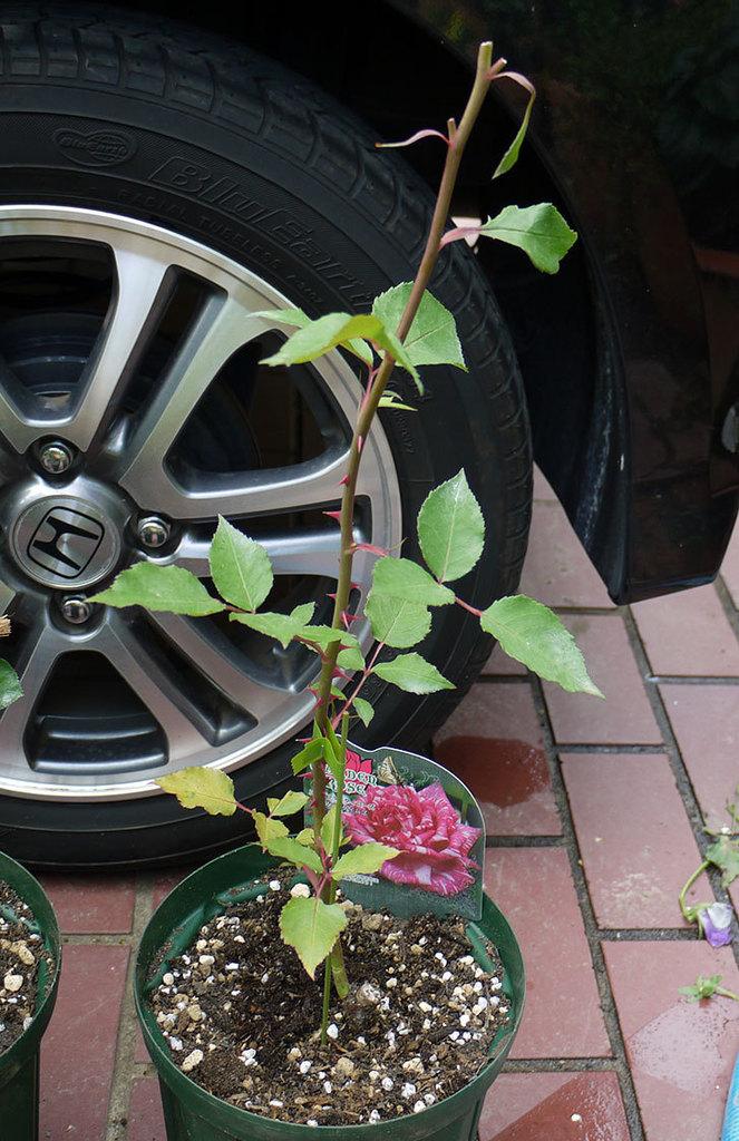 モダン・タイムズ(木立バラ)の新苗を6号のロングスリット鉢に植えた。2016年-1.jpg