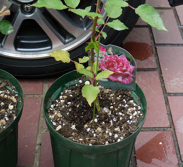 モダン・タイムズ(木立バラ)の新苗を6号のロングスリット鉢に植えた。2016年-2.jpg