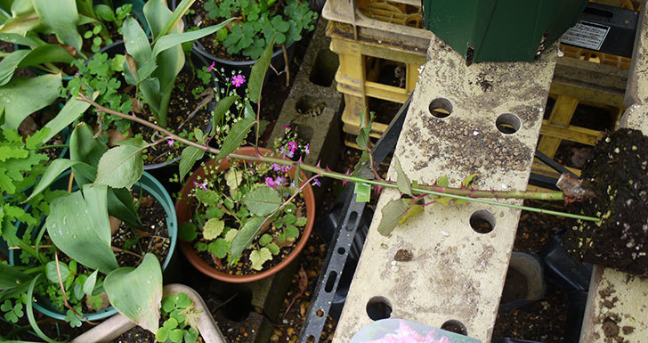 モダン・タイムズ(木立バラ)の新苗を6号のロングスリット鉢に植えた。2016年-3.jpg