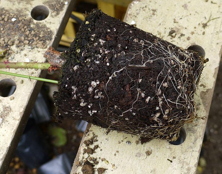 モダン・タイムズ(木立バラ)の新苗を6号のロングスリット鉢に植えた。2016年-4.jpg