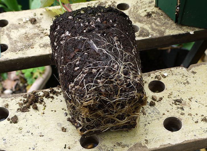 モダン・タイムズ(木立バラ)の新苗を6号のロングスリット鉢に植えた。2016年-5.jpg