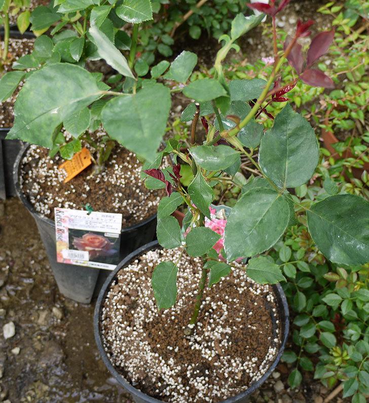 モダン・タイムズ(木立バラ)の新苗を8号のEUロングスリット鉢に鉢増しした。2016年-1.jpg