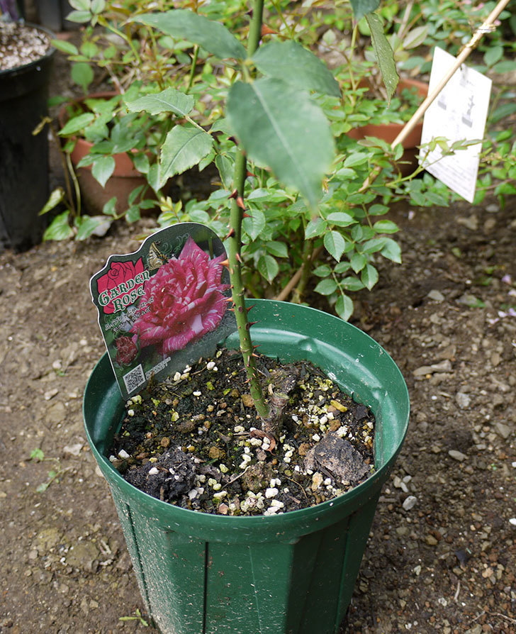 モダン・タイムズ(木立バラ)の新苗を8号のEUロングスリット鉢に鉢増しした。2016年-2.jpg