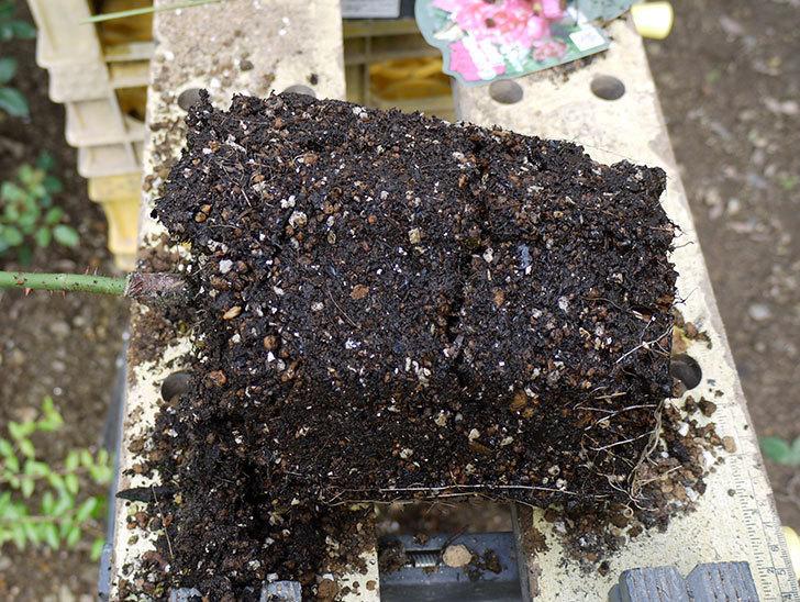 モダン・タイムズ(木立バラ)の新苗を8号のEUロングスリット鉢に鉢増しした。2016年-4.jpg