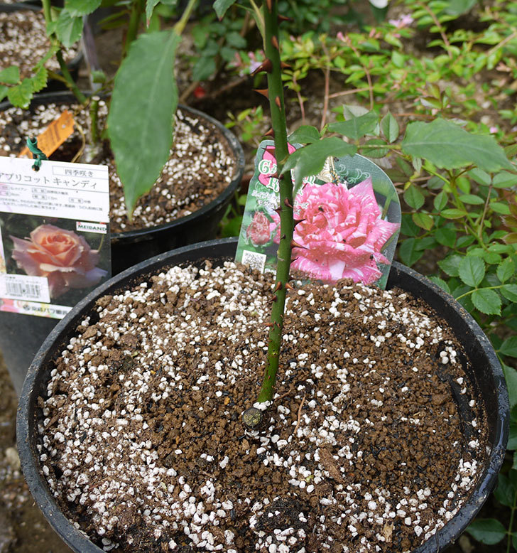 モダン・タイムズ(木立バラ)の新苗を8号のEUロングスリット鉢に鉢増しした。2016年-6.jpg