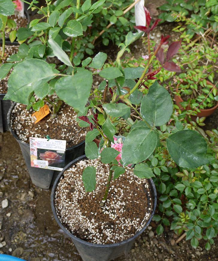 モダン・タイムズ(木立バラ)の新苗を8号のEUロングスリット鉢に鉢増しした。2016年-7.jpg
