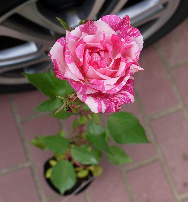 モダン・タイムズ(木立バラ)の新苗をケイヨーデイツーで買って来た。2016年-1.jpg
