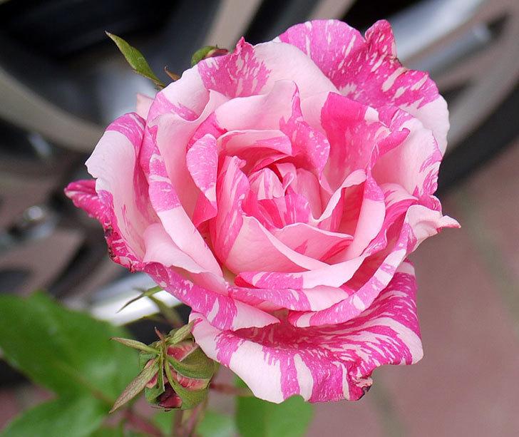 モダン・タイムズ(木立バラ)の新苗をケイヨーデイツーで買って来た。2016年-2.jpg