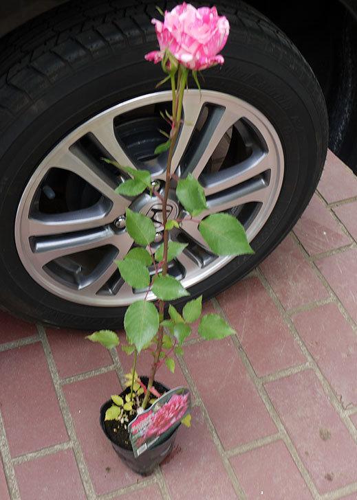 モダン・タイムズ(木立バラ)の新苗をケイヨーデイツーで買って来た。2016年-3.jpg