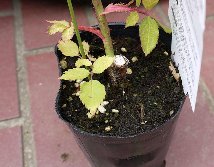 モダン・タイムズ(木立バラ)の新苗をケイヨーデイツーで買って来た。2016年-4.jpg