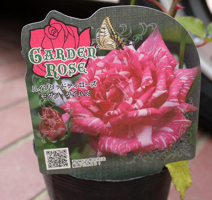 モダン・タイムズ(木立バラ)の新苗をケイヨーデイツーで買って来た。2016年-5.jpg