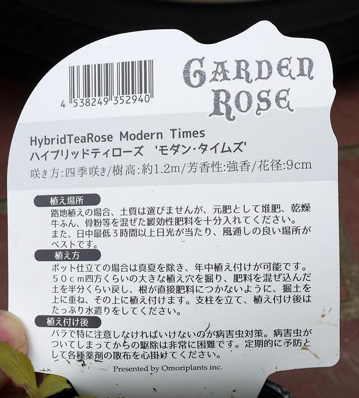 モダン・タイムズ(木立バラ)の新苗をケイヨーデイツーで買って来た。2016年-6.jpg