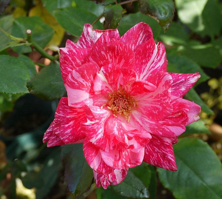 モダン・タイムズ(木立バラ)の秋花が開いた。2016年-2.jpg
