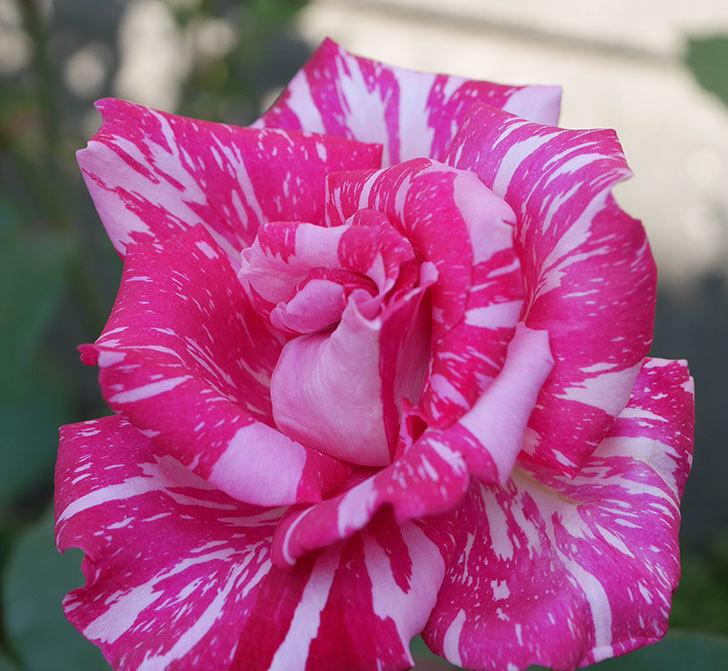 モダン・タイムズ(木立バラ)の花がまた咲いた。2019年-3.jpg