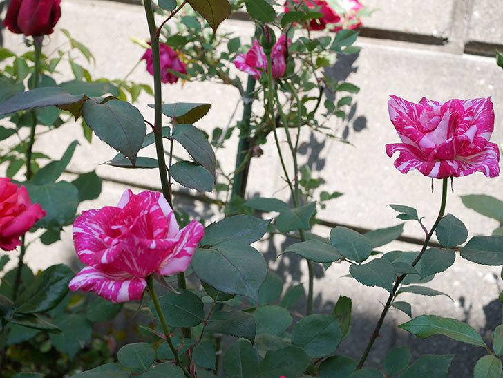 モダン・タイムズ(木立バラ)の花がまた咲いた。2019年-4.jpg