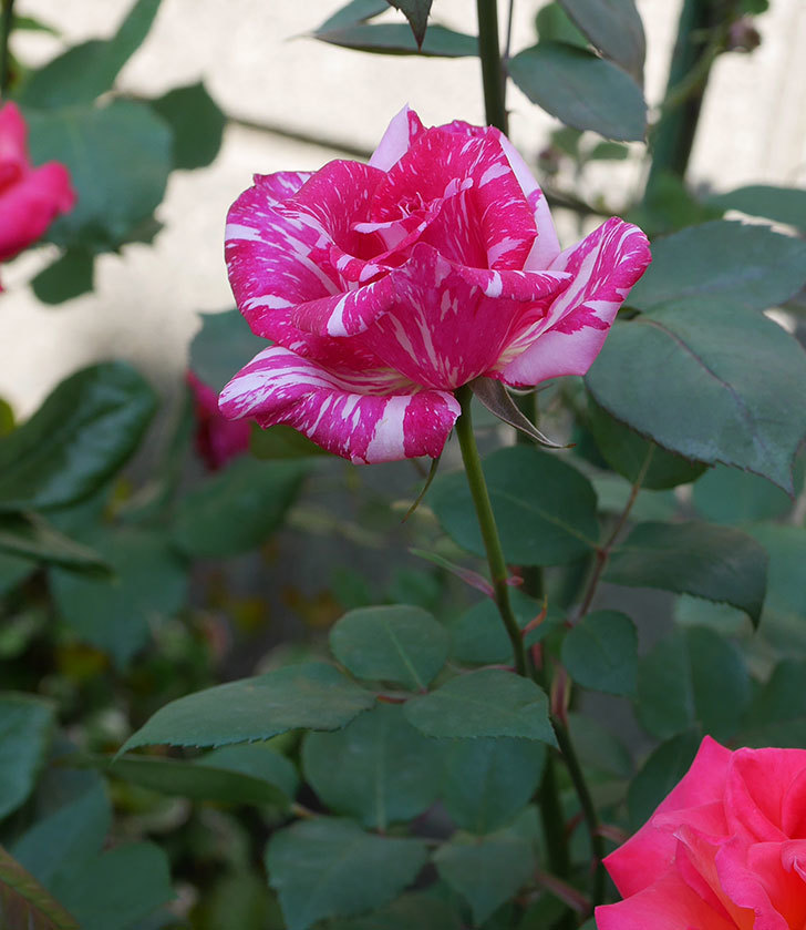 モダン・タイムズ(木立バラ)の花がまた咲いた。2019年-5.jpg