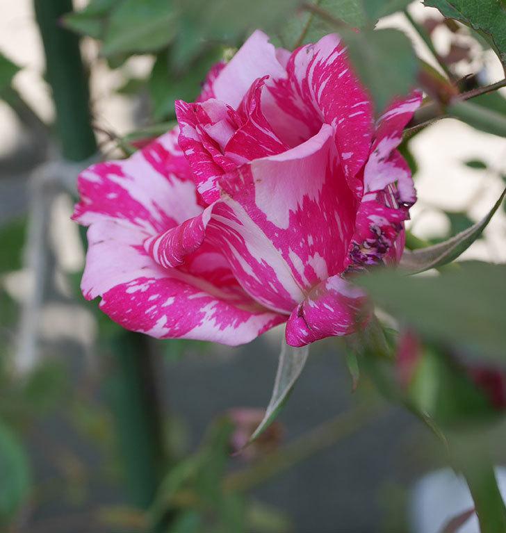 モダン・タイムズ(木立バラ)の花がまた咲いた。2019年-6.jpg