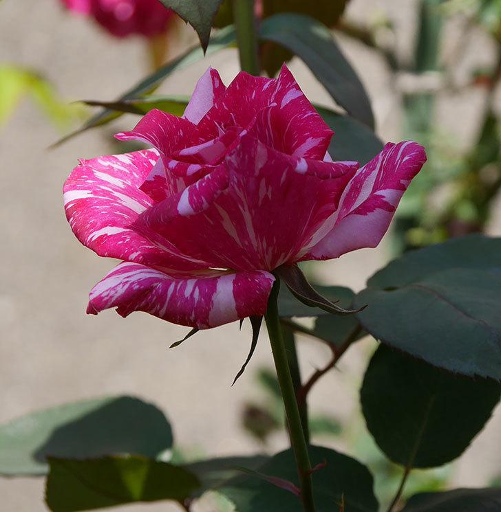 モダン・タイムズ(木立バラ)の花がまた咲いた。2019年-8.jpg