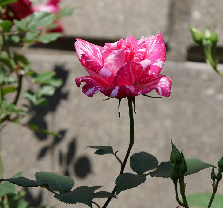 モダン・タイムズ(木立バラ)の花がまた咲いた。2019年-9.jpg