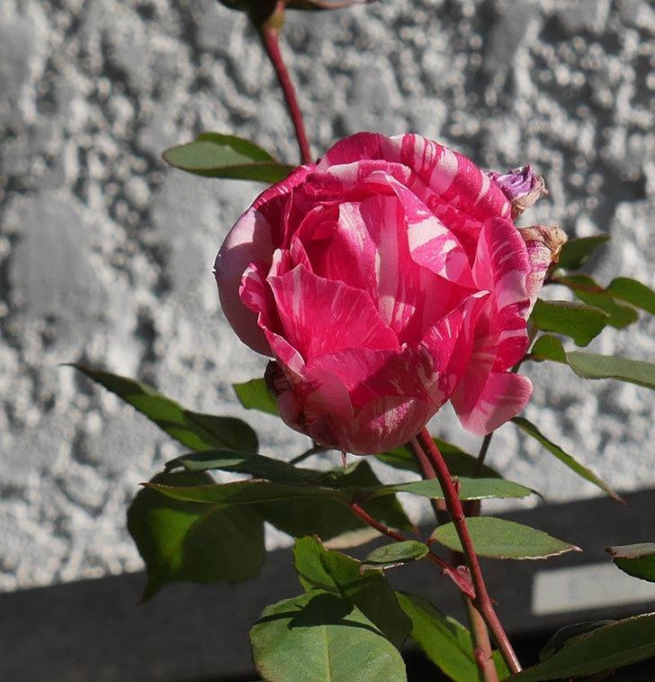 モダン・タイムズ(木立バラ)の花がまだ咲いている。2020年-1.jpg