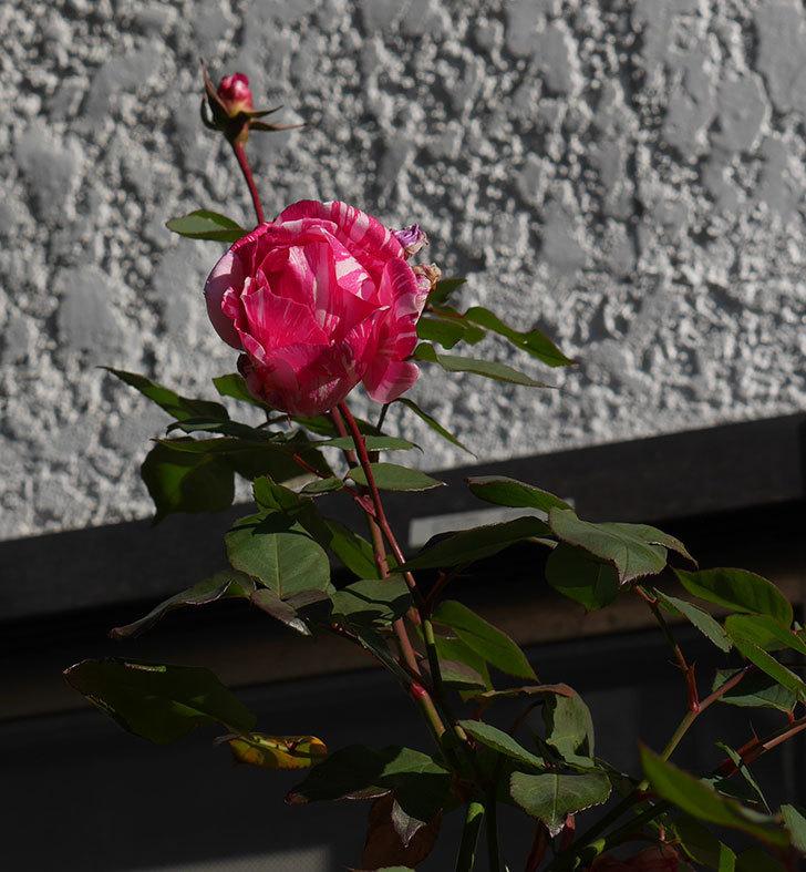 モダン・タイムズ(木立バラ)の花がまだ咲いている。2020年-2.jpg