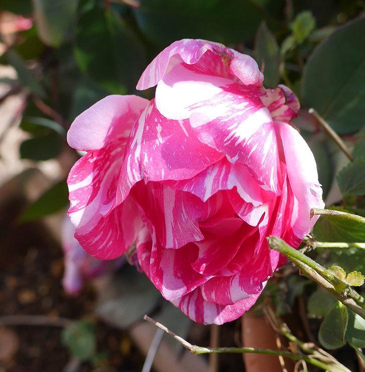 モダン・タイムズ(木立バラ)の花がまだ咲いている。2020年-3.jpg