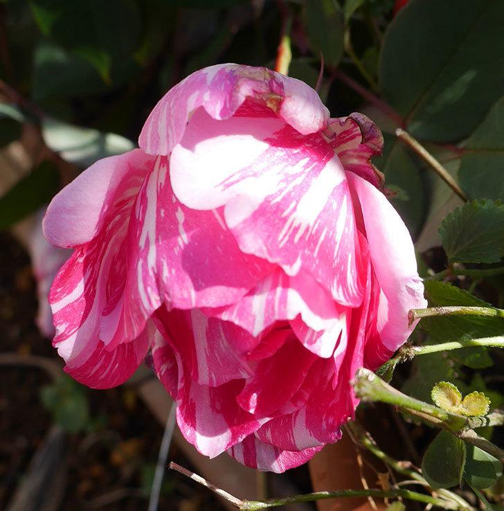 モダン・タイムズ(木立バラ)の花がまだ咲いている。2020年-4.jpg