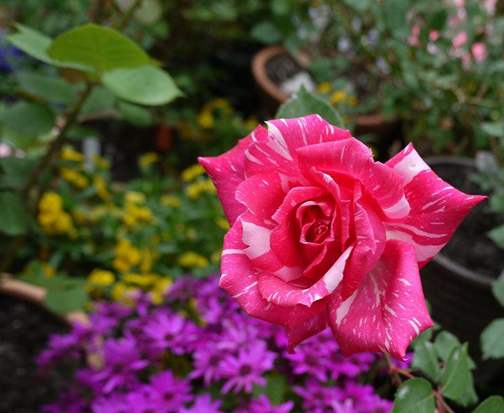 モダン・タイムズ(木立バラ)の花が咲いた。2017年-3.jpg