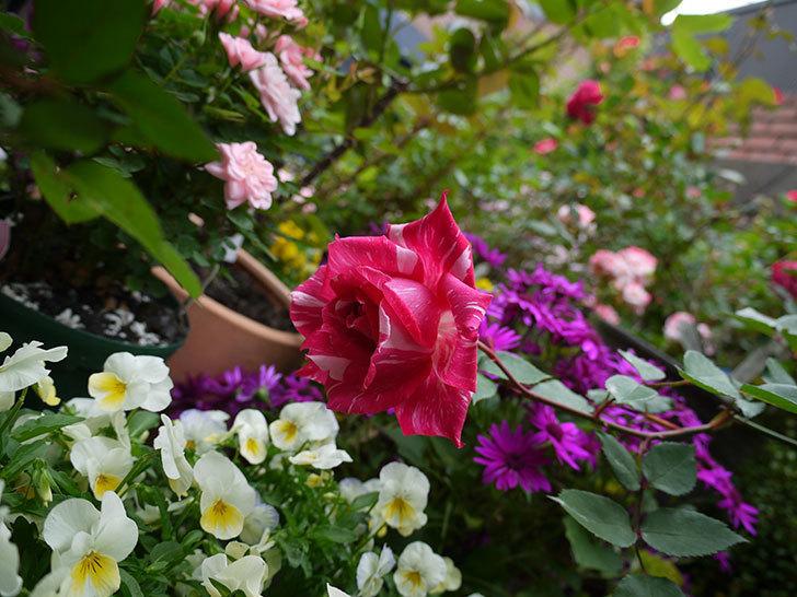 モダン・タイムズ(木立バラ)の花が咲いた。2017年-4.jpg