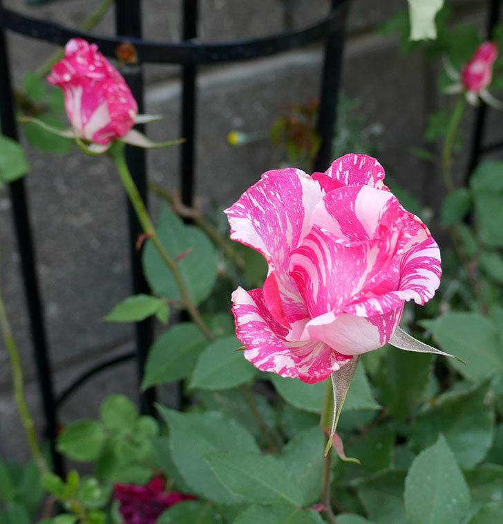 モダン・タイムズ(木立バラ)の花が咲いた。2018年-1.jpg