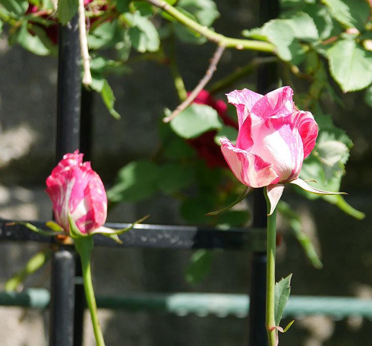 モダン・タイムズ(木立バラ)の花が咲いた。2018年-10.jpg