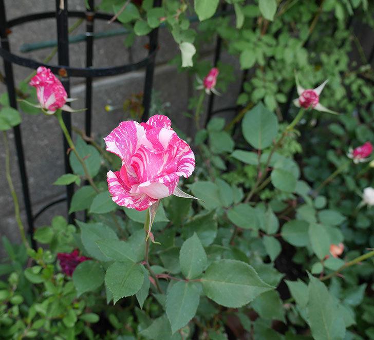 モダン・タイムズ(木立バラ)の花が咲いた。2018年-3.jpg
