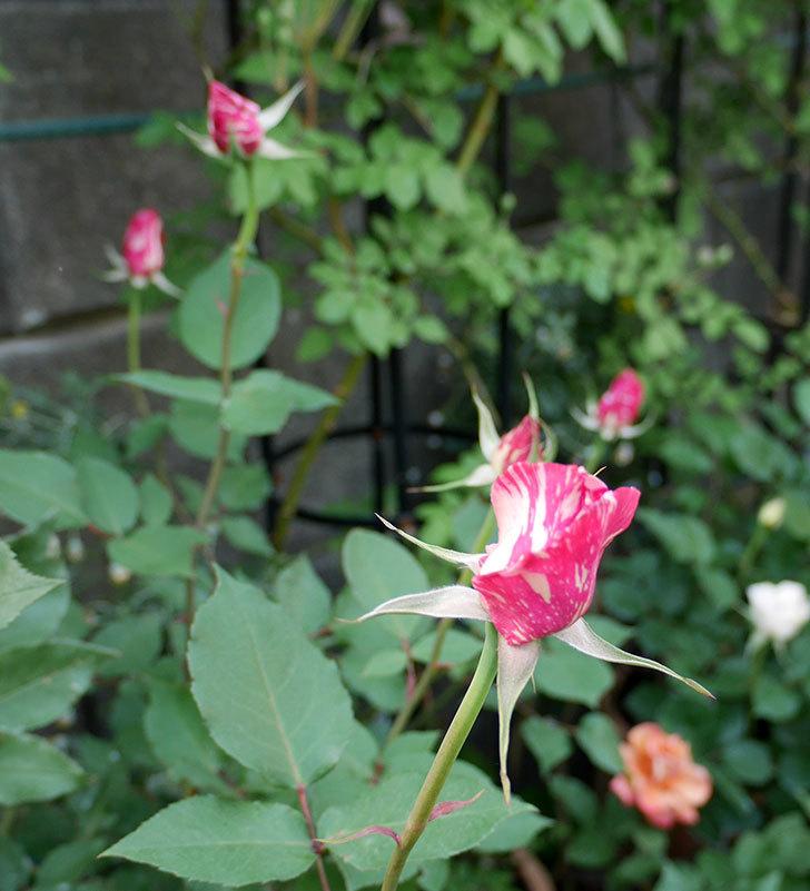 モダン・タイムズ(木立バラ)の花が咲いた。2018年-5.jpg