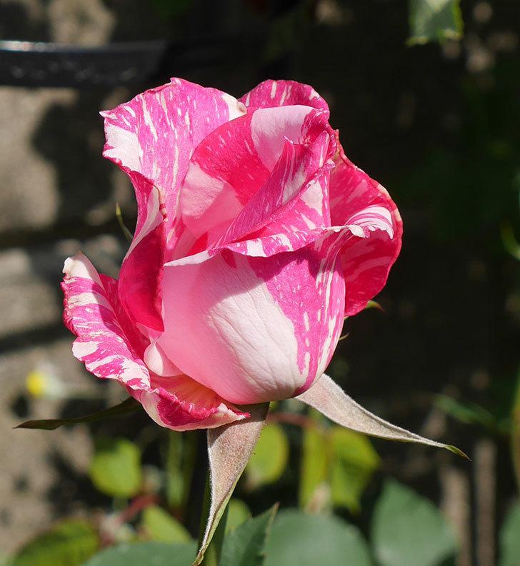 モダン・タイムズ(木立バラ)の花が咲いた。2018年-7.jpg