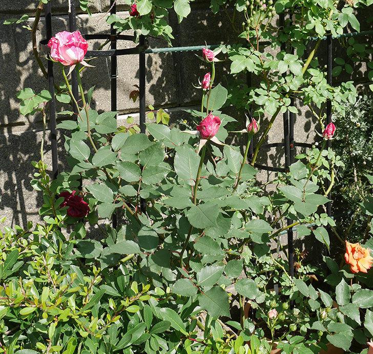 モダン・タイムズ(木立バラ)の花が咲いた。2018年-8.jpg