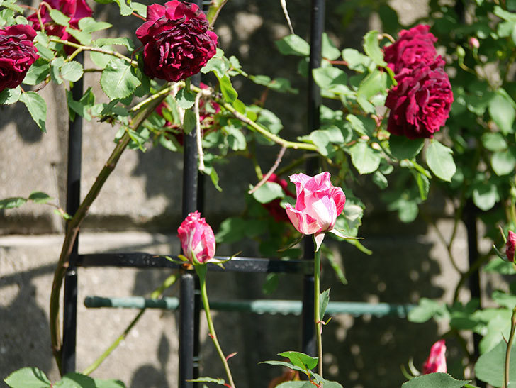 モダン・タイムズ(木立バラ)の花が咲いた。2018年-9.jpg